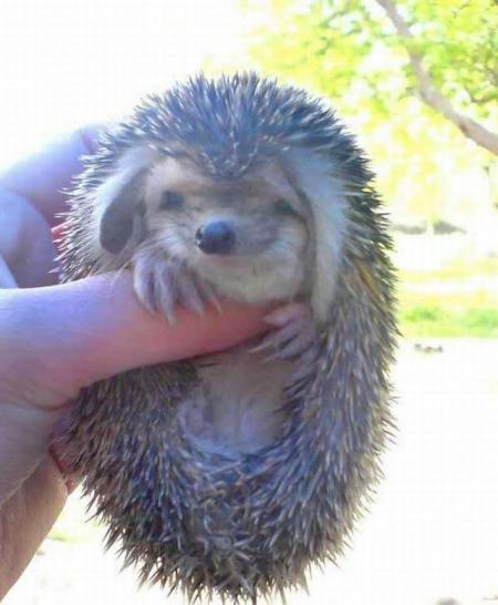Positive emotion of the day. Little big-eared hedgehog (8 photos)