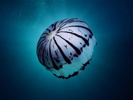 Compilation of 'beautiful' jellyfish (30 pics)