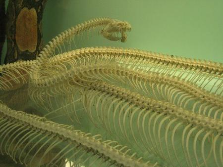 Snake skeletons compilation (15 pics)