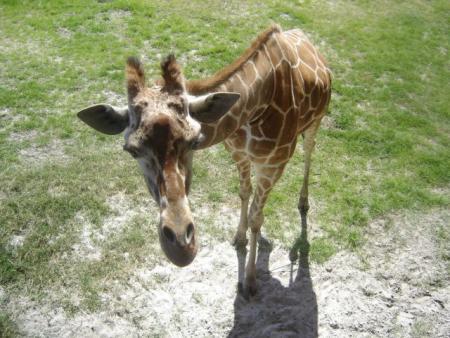 Funny giraffes (39 pics)