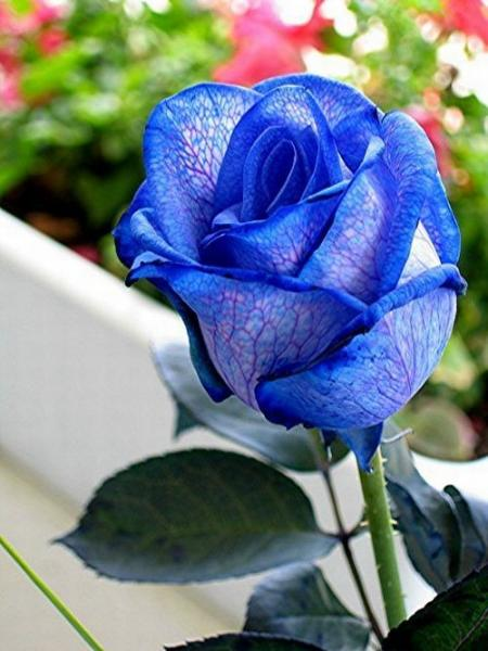 Blue roses. Very beautiful pictures (24 pics)
