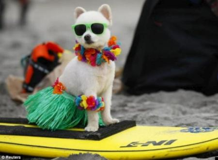 Surfing dogs (9 pics)